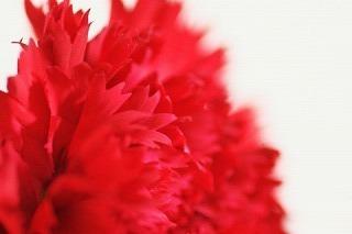 rise_carnation (2).jpg